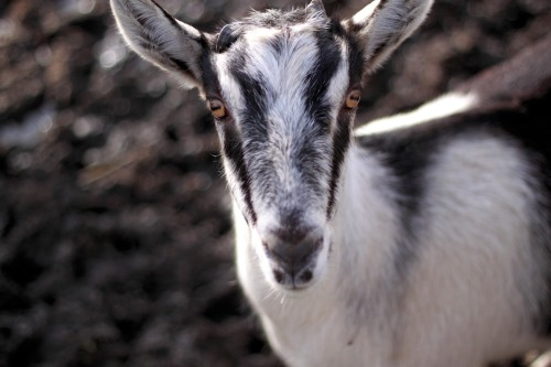 Fun Day On The Goat Farm