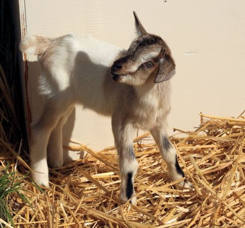 Fun Day On The Goat Farm 6