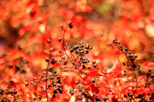 Red Autumn Seeds