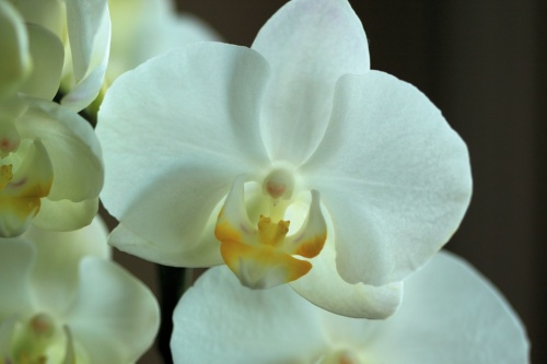 White Snow Orchid