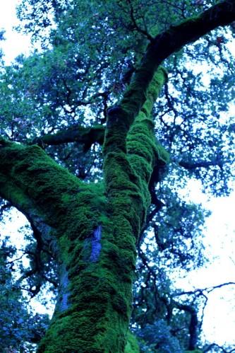 Big Mossy Tree 5