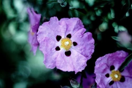 My Purple Dream