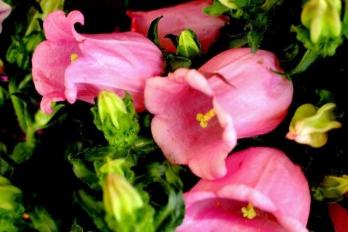 Rose Canterbury Bells