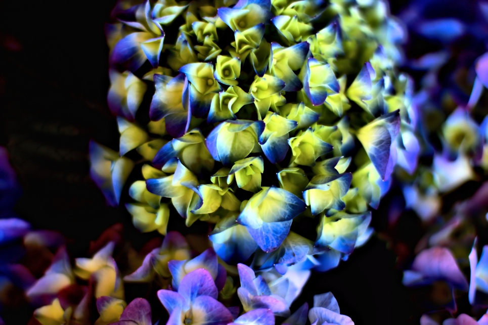 Yellow And Blue With Purple Hydrangea