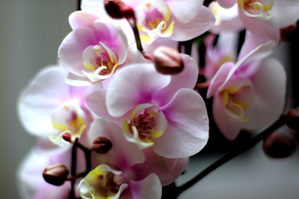 More Pink Orchids