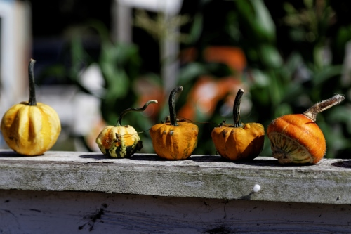 Gourds On A Fence